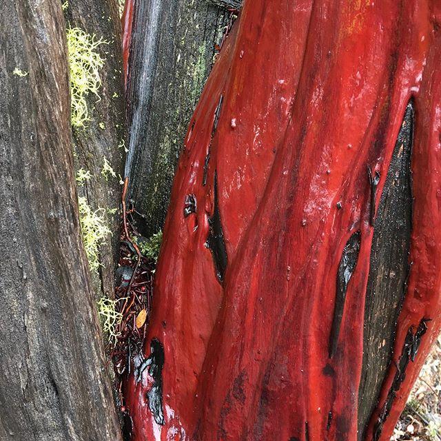 Old growth, unfiltered manzanita
